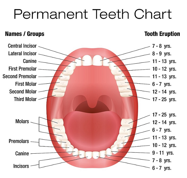 image-774717-Permanent-Teeth-Chart.png